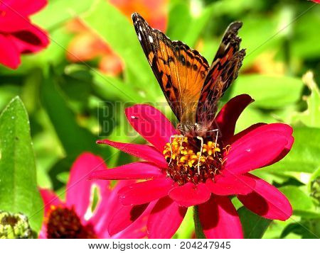 Junonia coenia butterfly on a red flower in garden on bank of the Lake Ontario in Toronto Canada September 12 2017