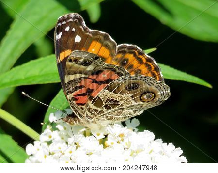 Junonia coenia butterfly on a white flower in garden on bank of the Lake Ontario in Toronto Canada September 12 2017