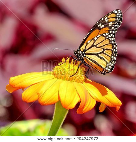 Monarch butterfly on a flower in garden on bank of the Lake Ontario in Toronto Canada September 12 2017