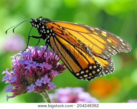 Monarch butterfly on the purple flower in garden on bank of the Lake Ontario in Toronto Canada September 12 2017