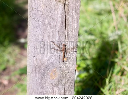 Macro Close Up Of Dragon Fly On Wooden Background Post Sympetrum Striolatum