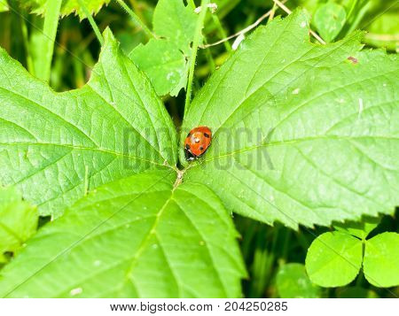 Close Up Of Red 7 Dotted Lady Bird Bug On Leafs