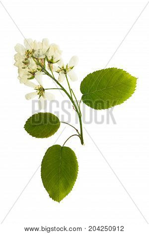 Pressed and dried flower shadberry isolated on white background. For use in scrapbooking floristry or herbarium.
