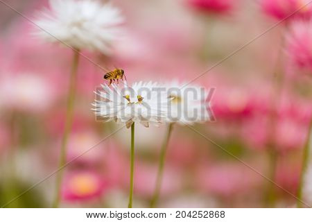 Honey Bee collecting pollen and nectar from a White Everlasting flower in Kings Park, Perth, Western Australia, Australia.