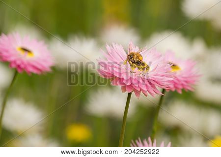 Honey Bee collecting pollen and nectar from a Pink Everlasting flower in Kings Park, Perth, Western Australia, Australia.