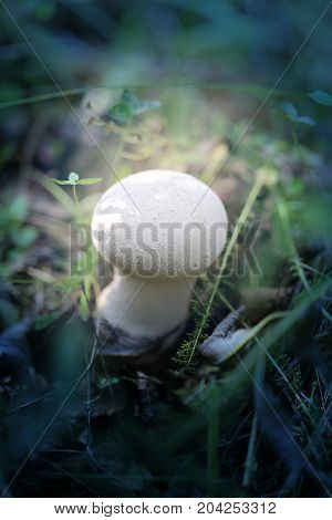 Photo of a bright white mushroom raincoat in the grass and leaves