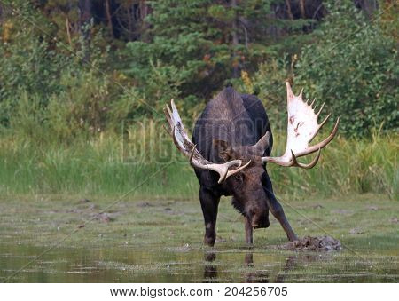 Adult Shiras Bull Moose Feeding On Water Grass Near Shore Of Fishercap Lake On The Swiftcurrent Hiki