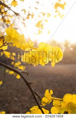 Golden Tree Of Tabebuia Yellow Flower In The Moning Vertical Shot