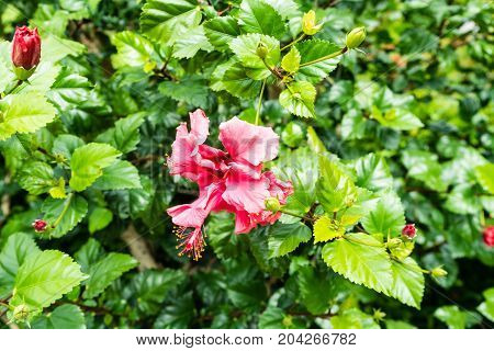 rosa sinensis hibiscus flower in garden blooming outside