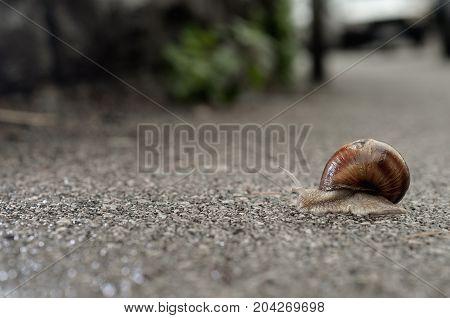 Burgundy snail on the asphalt in the cold rainy grey day