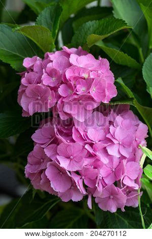 Close up of pink hortensia flower .