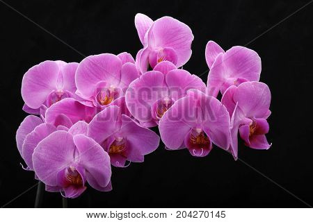 Pink orchid flower isolated on black background