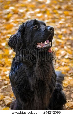 Newfoundland on autumn yellow leaves walk out