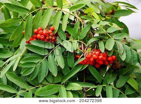 Rowan branch closeup. Ripe red Rowan berries in autumn. Rowan berries among the green leaves.