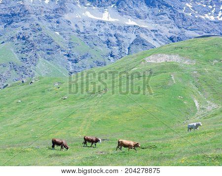 Grazing cows in mountain green alpine landscape