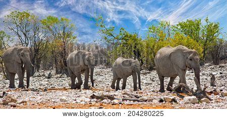 Elephants walking through on the dry rocky terrain with anatural bushveld and blue sky background