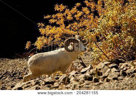 White rare Dall sheep in Denali  as a subject of protection, Alaska, US