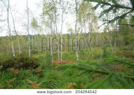 swamp Birch landscape, nature, swamp tree forest