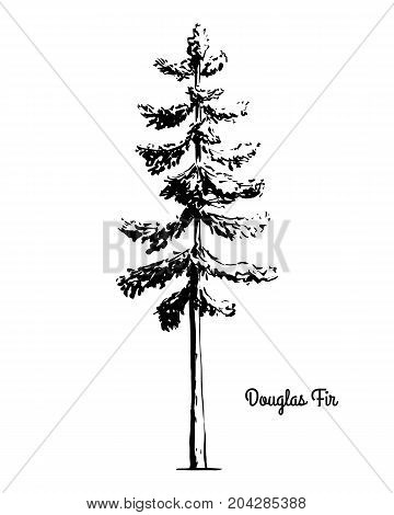 Vector sketch illustration. Black silhouette of Douglas Fir isolated on white background. Drawing of evergreen coniferous plant, Oregon state tree.