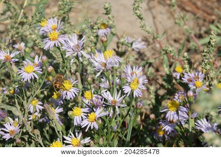 Aster alpinus or Alpine aster purple or lilac flower with a bee collecting pollen or nectar. Purple flower like a daisy in flower bed.
