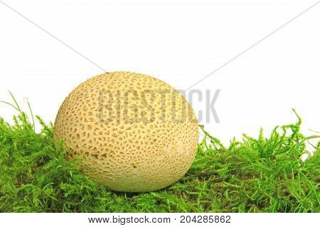 Common earthball (Scleroderma citrinum) also called earthball pigskin poison puffball common earth ball - mushroom on green moss before white background