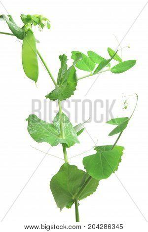 Snow pea green pea suger pea (Pisum sativum) plant with unripe pod isolated against white background