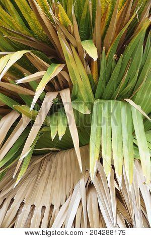 fresh green cuban petticoate palm leaves in nature garden