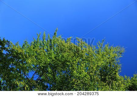 natural background with copy space: green leafy tree crown and cloudless blue sky