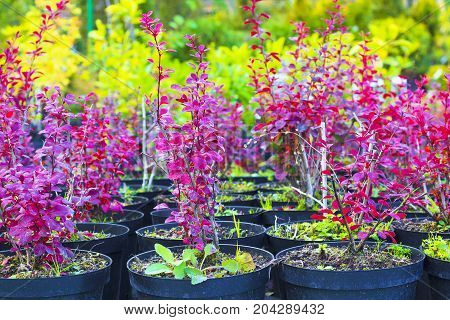 Red bushes Berberis Thunbergii plants in pots sold at garden center