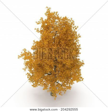 Yellow Poplar tree isolated on white background. 3D illustration