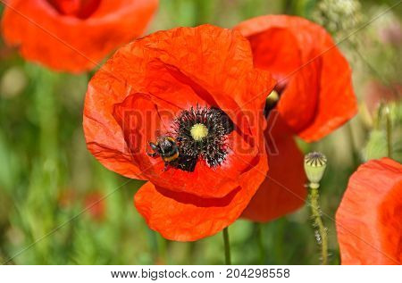 Poppy flowers and a wasp in summer