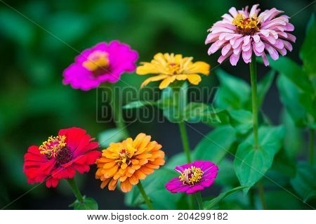 Beautiful zinnia flowers growing in the garden. Nature concept
