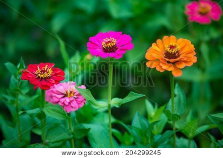 Orange pink and red zinnia flower growing in the garden