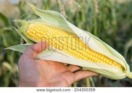 Farmer's hand holding sweet ear of ripe corn. Good result of hard farmer work.