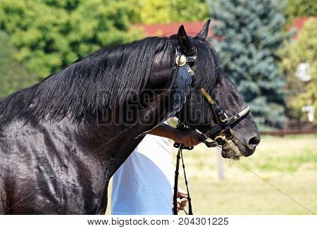 Head and shoulder of a black horse