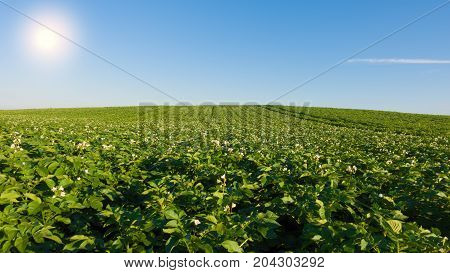 Potato field with flowers at sunny day. Green field of potatoes.