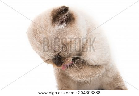 Gray lop-eared kitten animals on white background