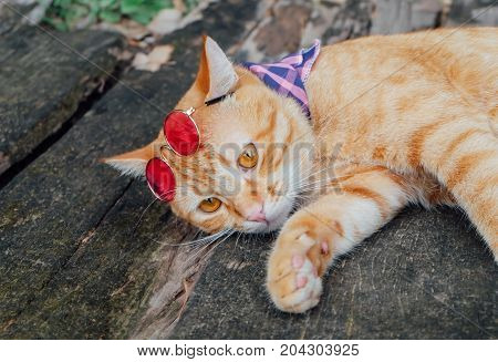 Orange Male Cat, Thai Cat wearing cool glasses.