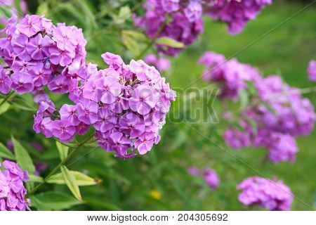 Nice background made from closeup pink flowers against green
