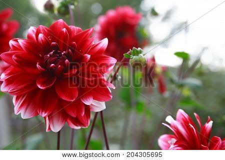Nice garden background with big red flower