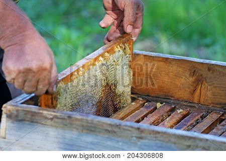 Beekeeper at work. Hands of a man who pulls out a honeycomb from an old bee hive.