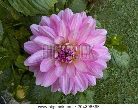beautiful leaves of the dalia  bloom, blooming, blossom,