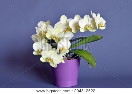 orchid flowers in foreground, still life, horizontal composition