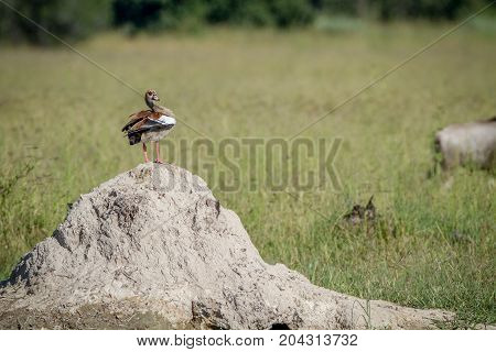 Egyptian Goose Standing On A Termite Mount.