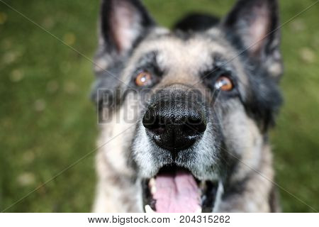 Wet healthy nose of a dog with a happy look on it face shallow depth of field