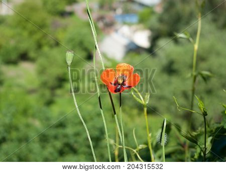 The flower is red. Poppy. On the mountain