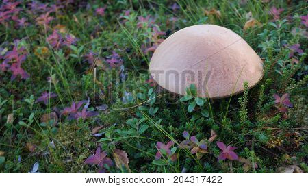 A big brown mushroom hidding in moss