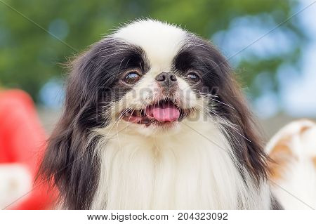 The Japanese Chin, also known as the Japanese Spaniel, green background. Space under the text. 2018 year of the dog in the eastern calendar Concept: parodist dogs, dog friend of man, true friends, rescuers.