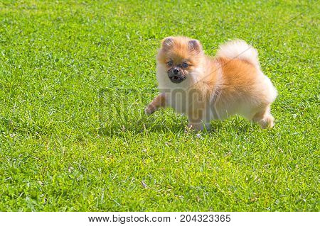 Pomeranian Spitz is a decorative breed of dogs. Runs on the green grass, well lit by the sun. Space under the text. 2018 year of the dog in the eastern calendar Concept: parodist dogs, dog friend of man, true friends, rescuers.
