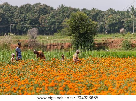 Mysore India - October 27 2013: In Ranganathapur an older farm worker and a young family with two kids pick orange Marigold flowers out of a field that grows thousands. Rural scenery.